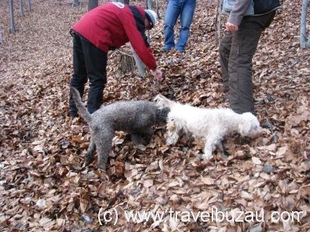 Truffle hunting - Vanatoare de trufe